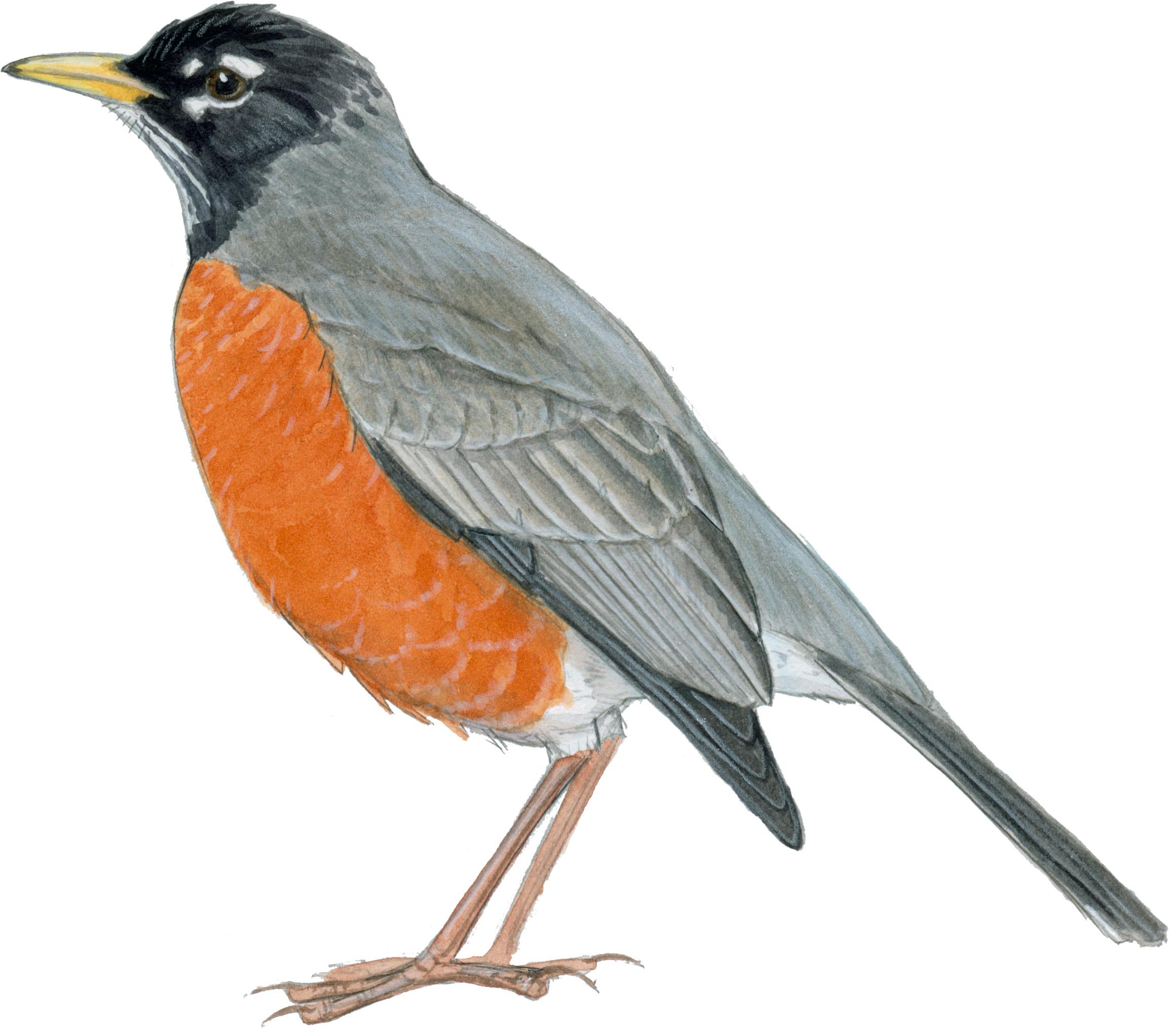 Drawn robin robin bird Robin John  Muir m2