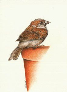 Drawn sparrow color Drawing Start Best to pencils
