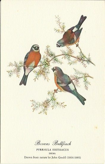 Drawn robin vintage $4 Ballfinch Bevans Bird Vintage