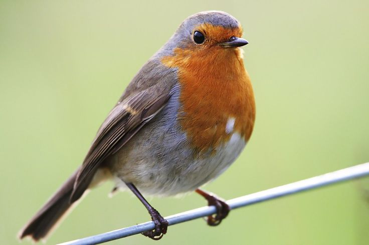 Drawn robin winter bird – Robins Bird redbreast and