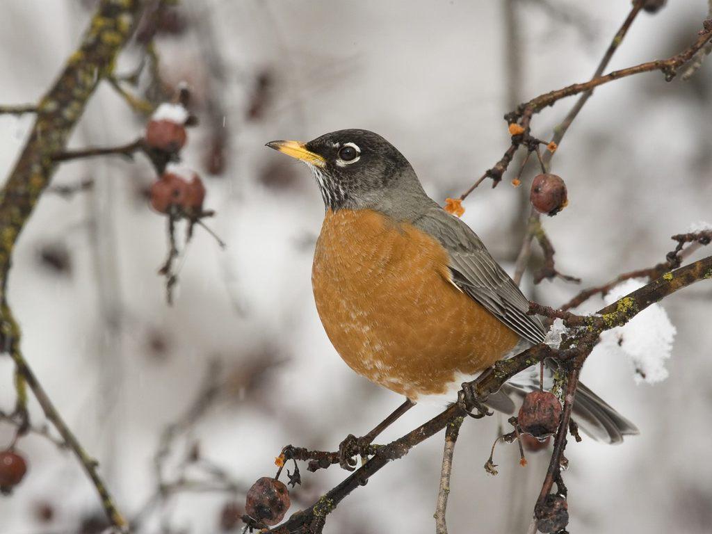 Drawn robin winter bird Birds HD Wallpapers Wallpapers HDQ