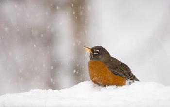Drawn robin winter bird In robins and winter How