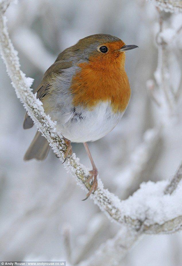 Drawn robin winter bird Ideas doth we will shall