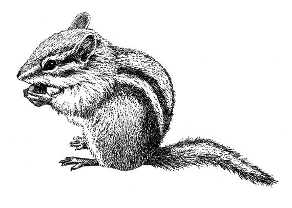 Drawn rodent Chipmunk Drawing Pic Drawing Realistic