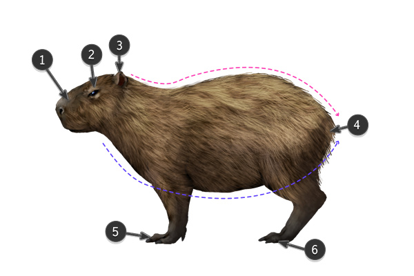 Drawn rodent 3d hd How Animals: Anatomy Their and