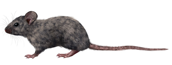 Drawn rodent Small Their rodents Draw how
