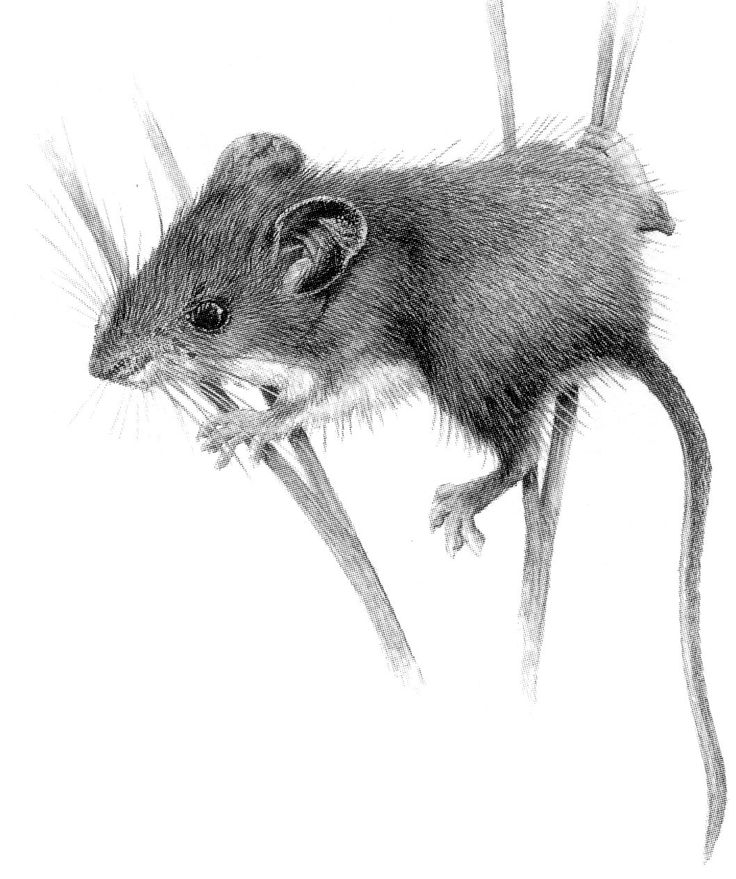 Drawn rodent awesome Tattoo & best Pinterest images