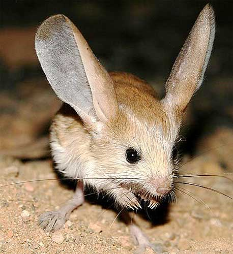 Drawn rodent big ear Desert Long rodents Mongolia Jerboas