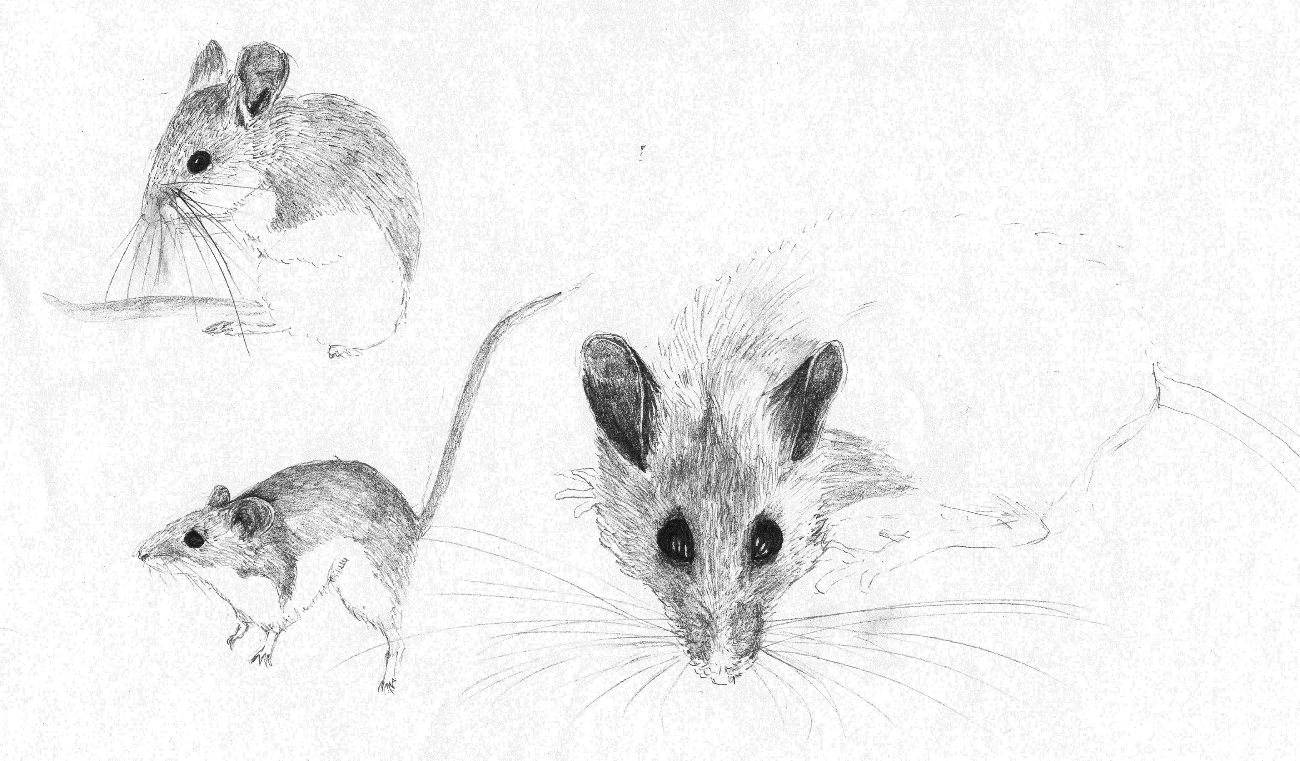 Drawn rodent deer mouse Unfortunately sketches Deer marthamouse Mice