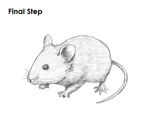 Drawn rodent deer mouse How Last Draw a to