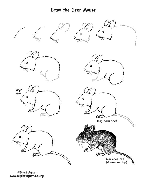Drawn rodent deer mouse Lesson Drawing Mouse Lesson Deer)