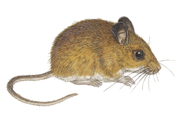 Drawn rodent deer mouse Mammals'Planet Sheet Submitted Species