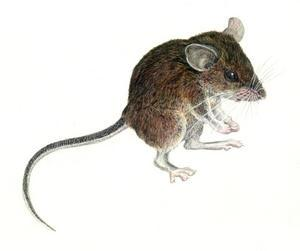 Drawn rodent field mouse New color Seven of the