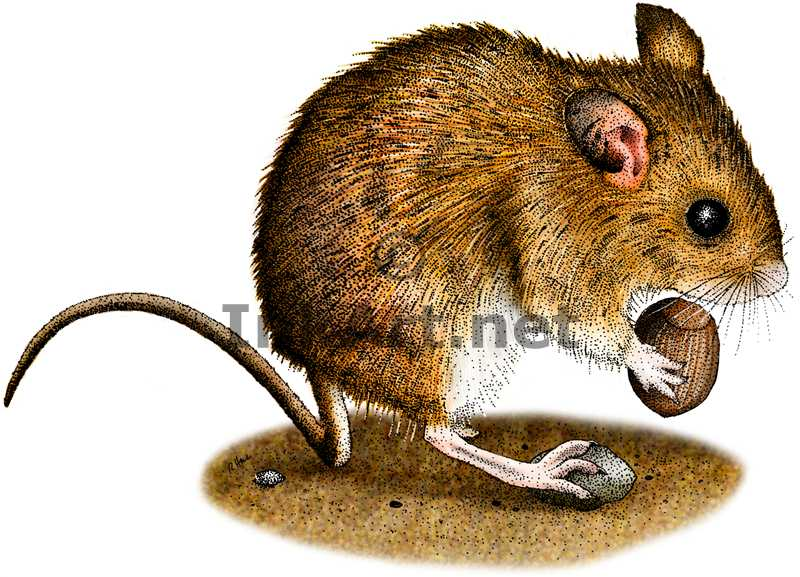 Drawn rodent field mouse Tailed illustration Long color art