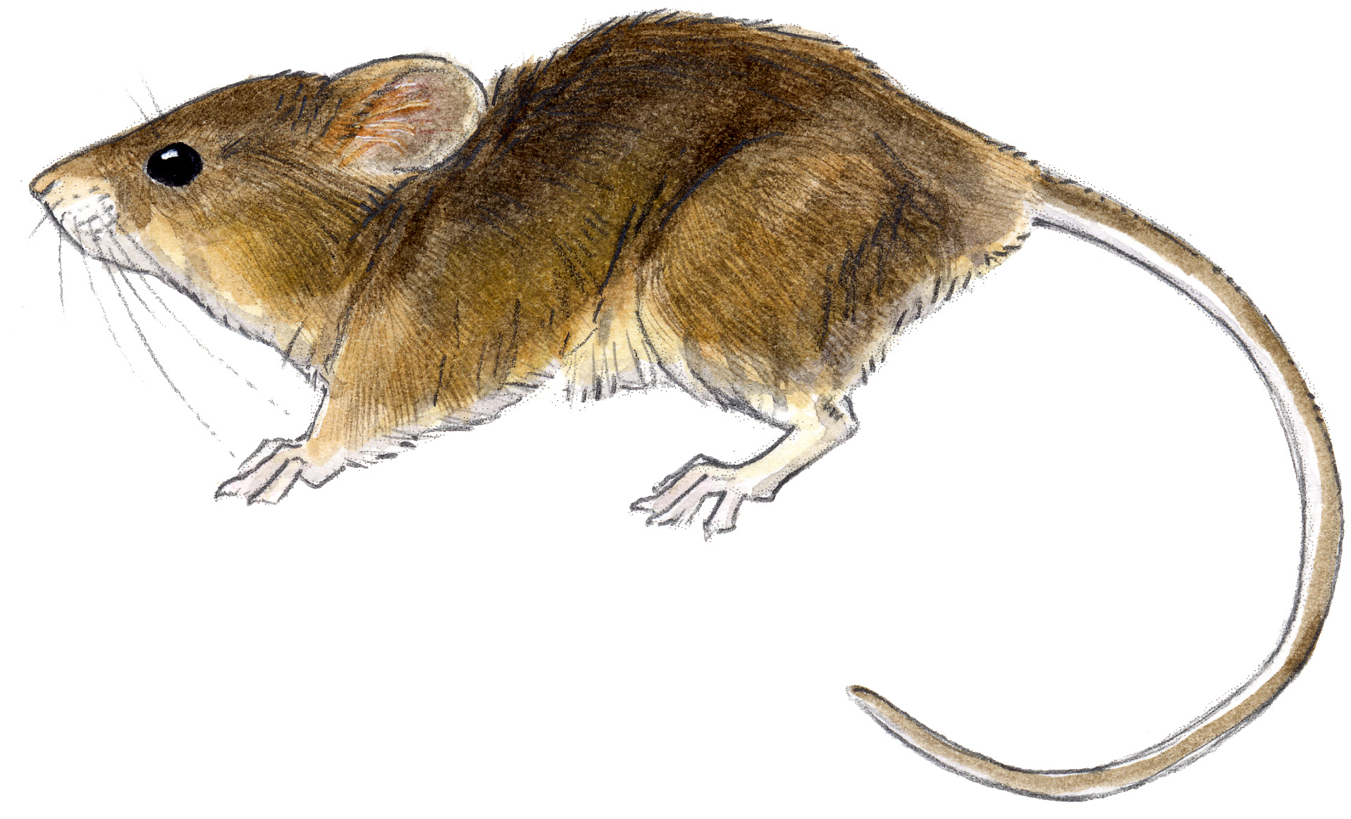 Drawn rodent field mouse Mouse John Laws Harvest Muir