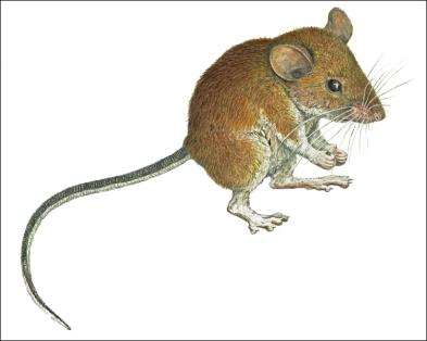 Drawn rodent field mouse Forest Species Mouse Mammals'Planet Zambales