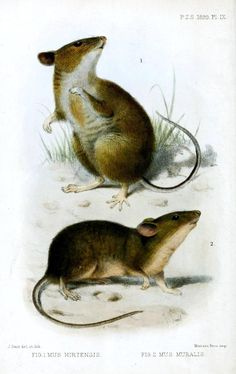 Drawn rodent field mouse Fields Animals Pinterest Art Animales