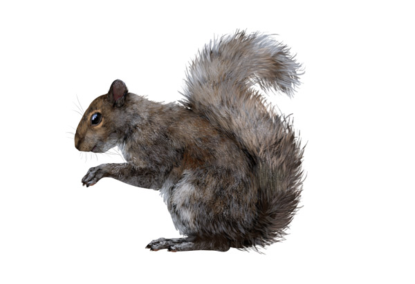 Drawn rodent gray Rodents squirrel Their Small draw