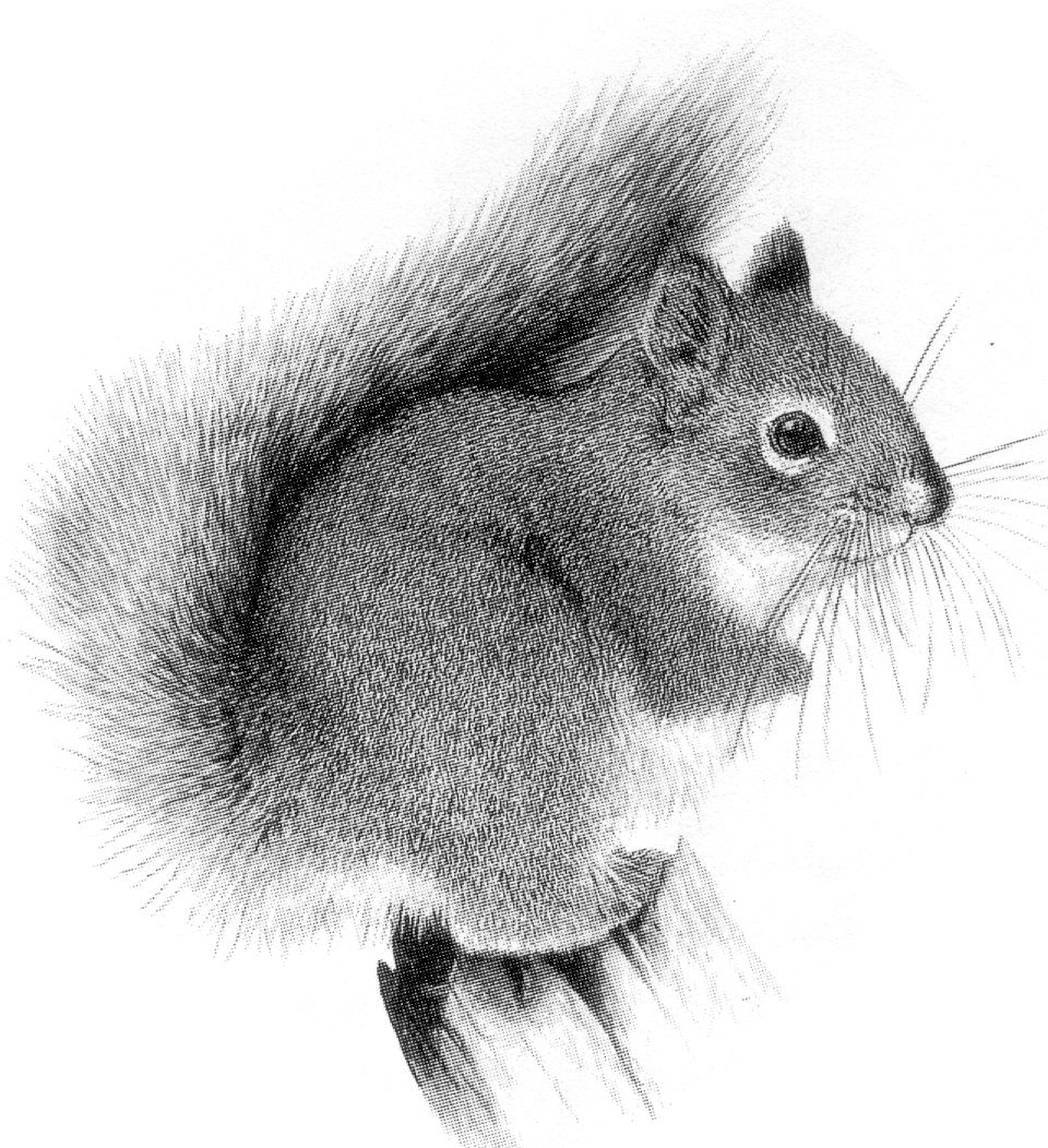 Drawn squirrel realistic Index Douglas Drawing /jefferson_school/tracking/mammal_signs jpg