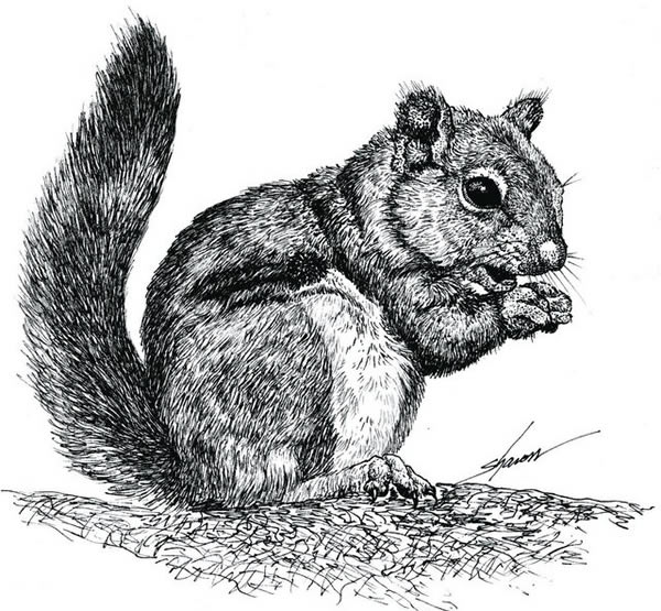 Drawn rodent gray Squirrel to Removal Squirrel drawing