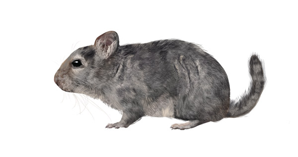 Drawn rodent gray Rodents Chinchilla Their Small draw