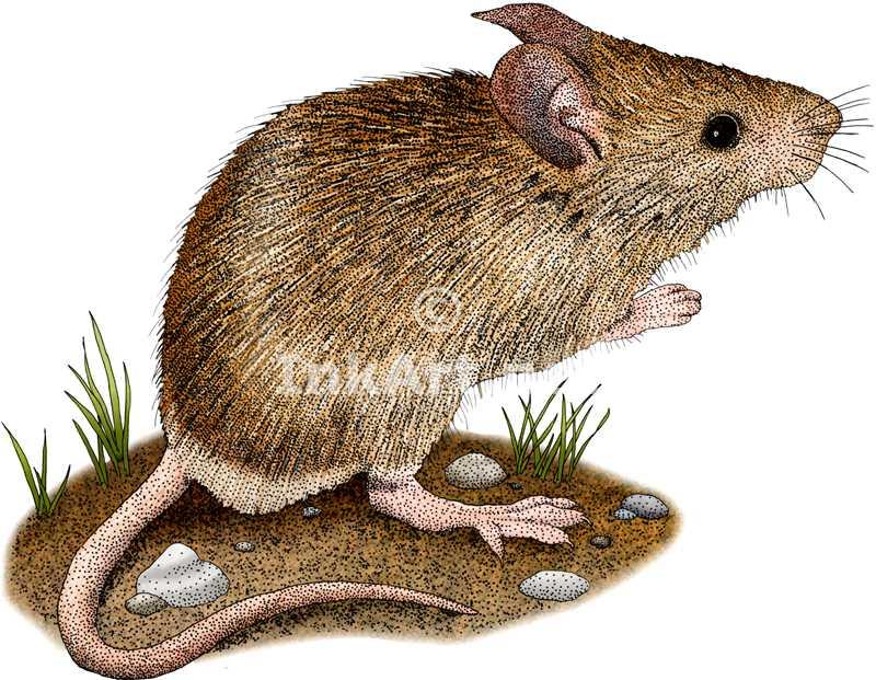 Drawn rodent illustration Stock illustration Art House Illustration