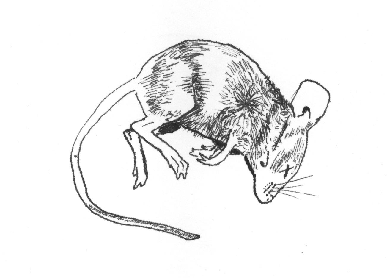 Drawn rodent illustration Pen Schenker · and Work