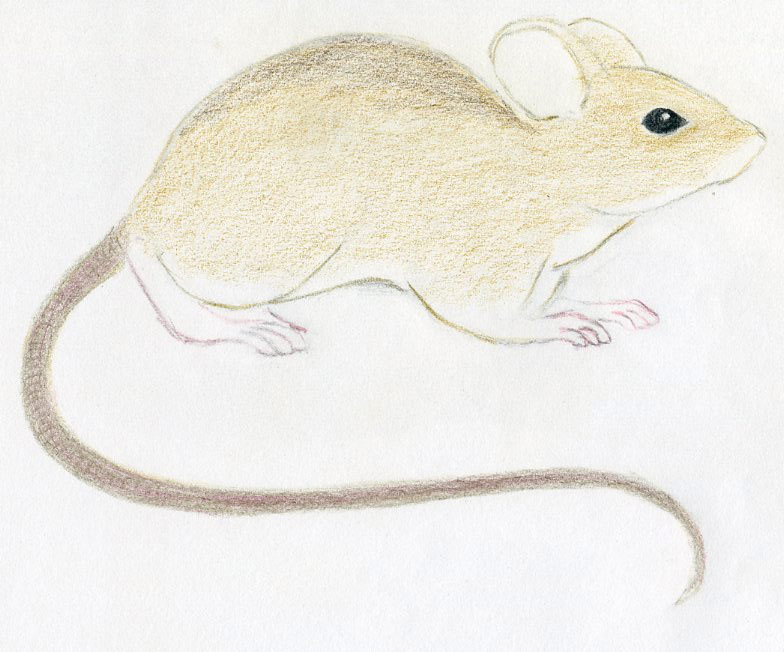 Drawn rodent little mouse Light the When draw Draw