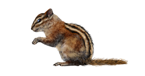 Drawn rodent mammal Draw to draw Their how
