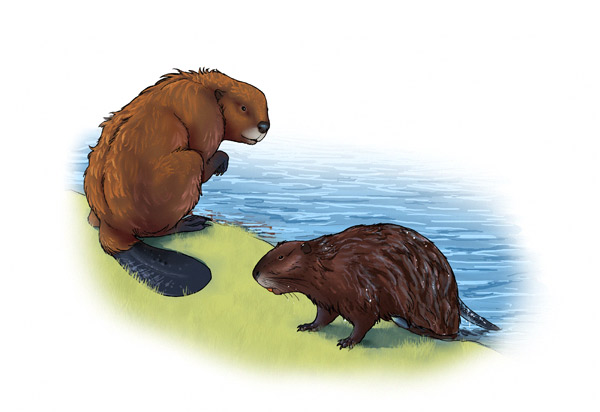 Drawn rodent mammal Big large rodents image to