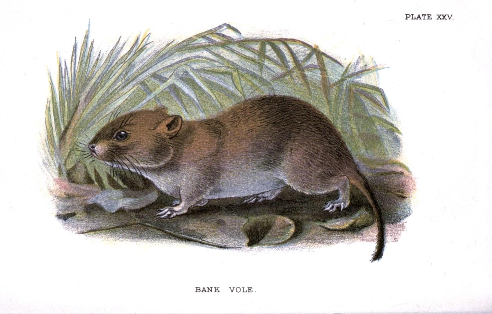 Drawn rodent mammal Animal  British mammal Printable