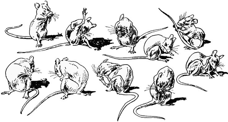 Drawn rodent mouse line Positions mouse in washing of