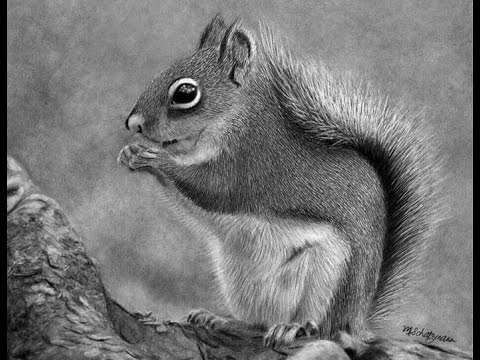 Drawn rodent pencil drawing A A in Graphite Squirrel