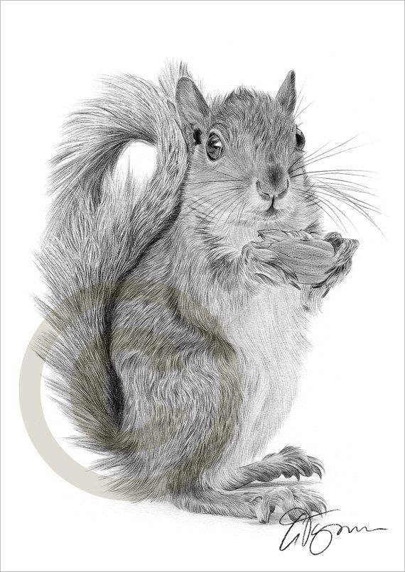 Drawn rodent pencil drawing Drawings images artwork Squirrel drawing