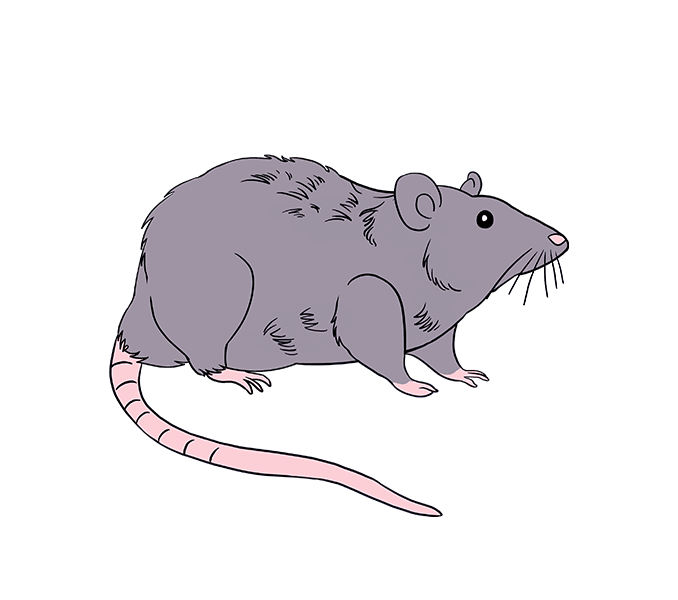 Drawn rodent rat To Rat Draw rat Step: