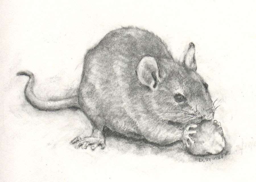 Drawn rodent rat Mouse Gerbil of charcoal Rat