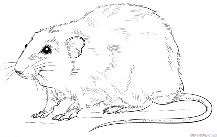 Drawn rodent rat A by rat rat How