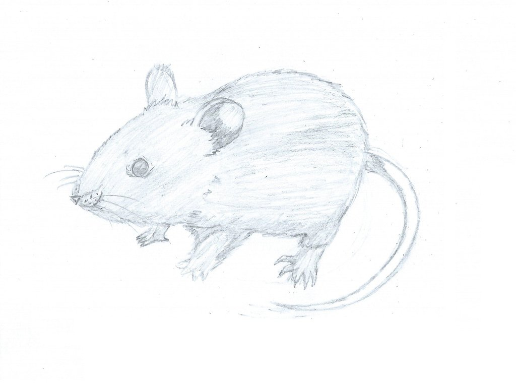 Drawn rodent realistic On Tigrezz55 Realistic DeviantArt by