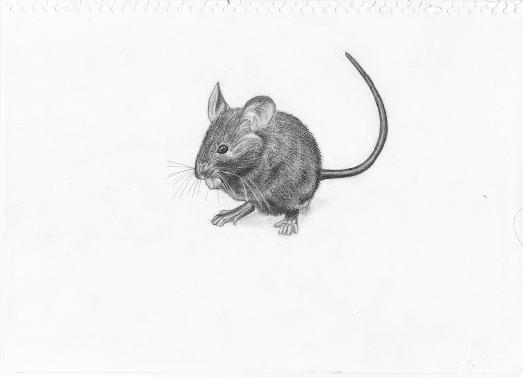 Drawn rodent realistic On Adonabauer Mouse DeviantArt by