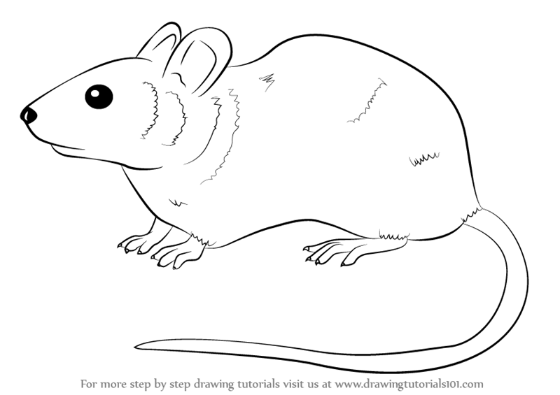 Drawn rodent step by step Mouse (Rodents) Learn by How