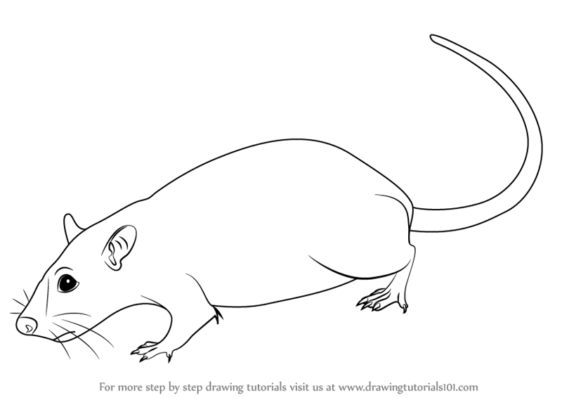 Drawn rodent step by step Rat (Rodents) Learn by How