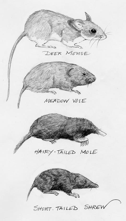 Drawn rodent tailless Or Story The or Shrew