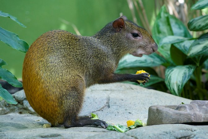 Drawn rodent tailless You'll News meet comiendo the
