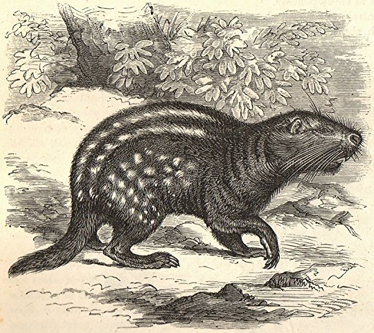 Drawn rodent tailless A features from PERUSING amalgamation