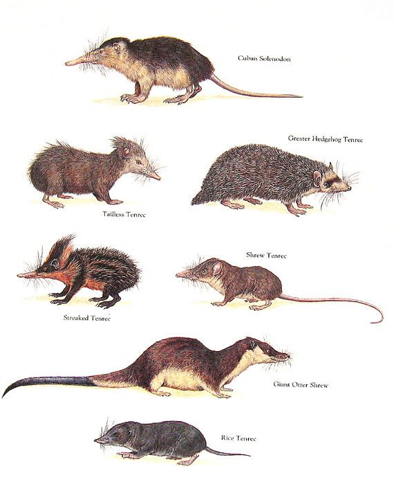 Drawn rodent tailless Vintage Plate best Animal Animals