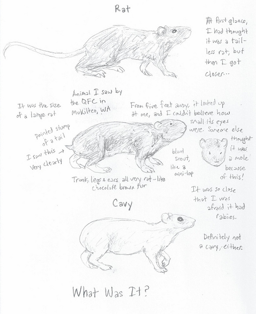 Drawn rodent tailless The Mysterious Solved! of a