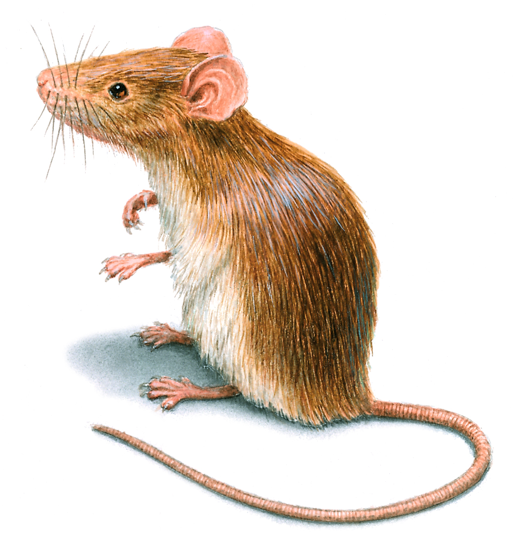 Drawn rodent the house meme Mouse House mouse of images