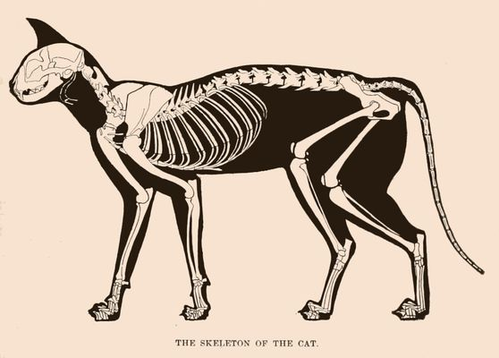 Drawn rodent vintage cat Cat skeleton this 151 Find