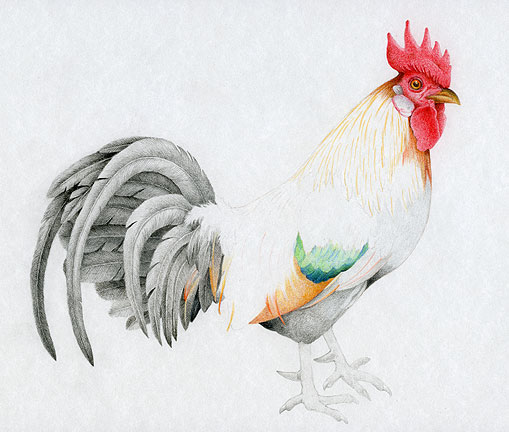 Drawn rooster colored pencil #4