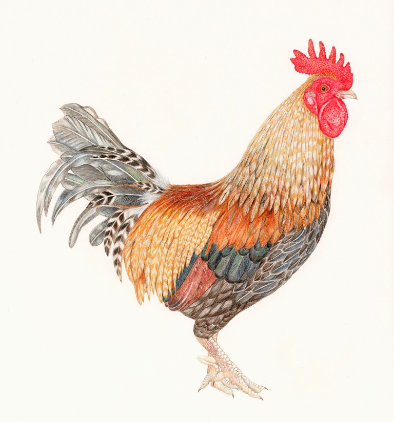 Drawn rooster colored pencil #10